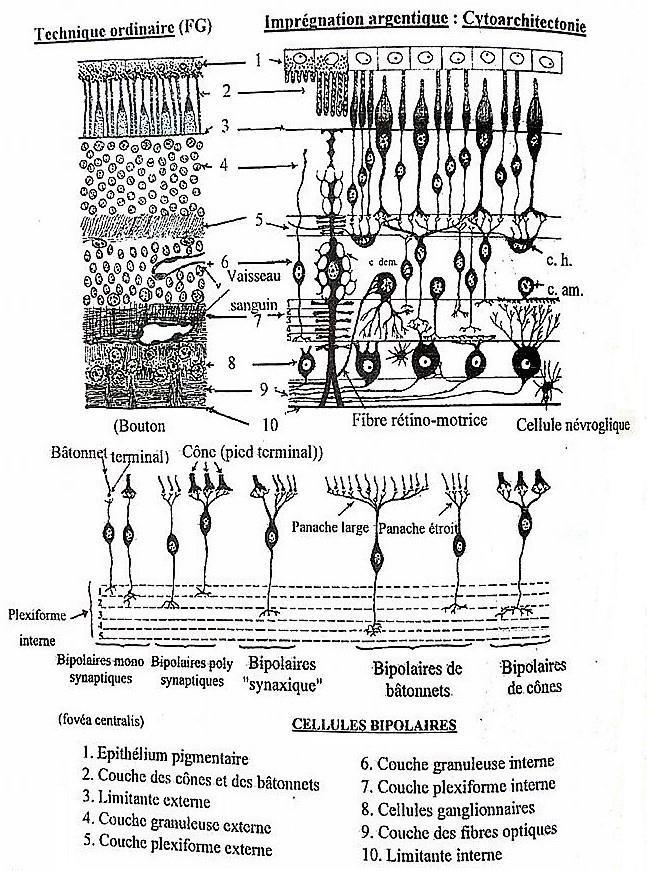 C:\Users\PICOS\Desktop\Médecine\2ème année\Histologie\T3\2) Organe des sens\Schémas Organes des sens\Rétine visuelle (MO) (1).jpg