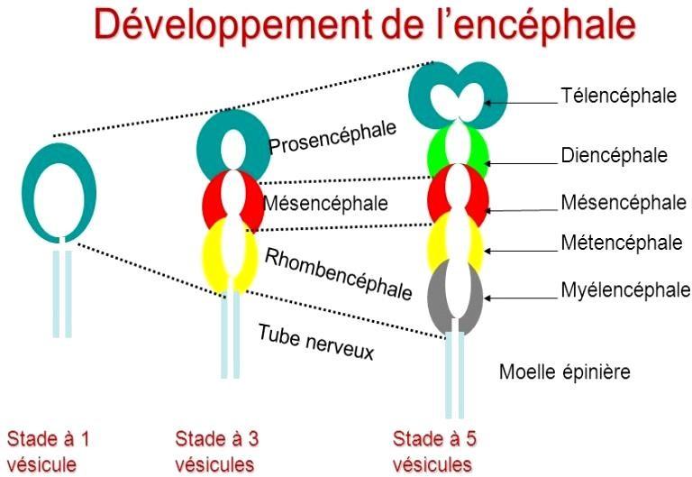 Exemple+4-+Développement+de+l'encéphale.jpg