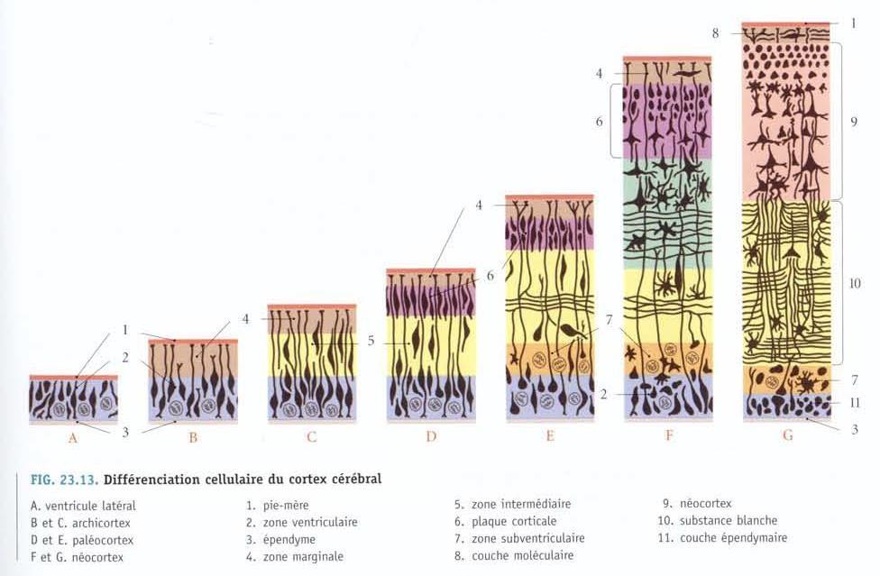 cortex cérébral cellules.png