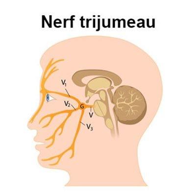 """Résultat de recherche d'images pour """"nerf trijumeau anatomie trajet"""""""