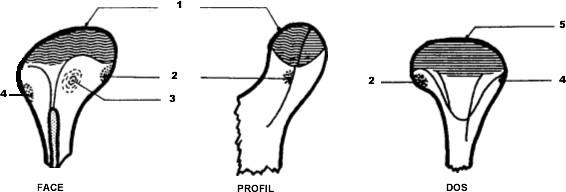 Surface articulaire mandibulaire