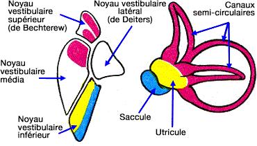 noyaux-vestibulaires